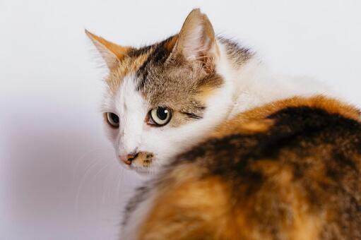 Hachi Ware's Cat 4