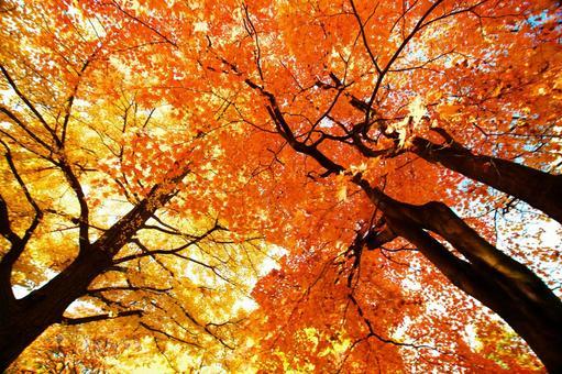 A row of ginkgo trees at Hokkaido University
