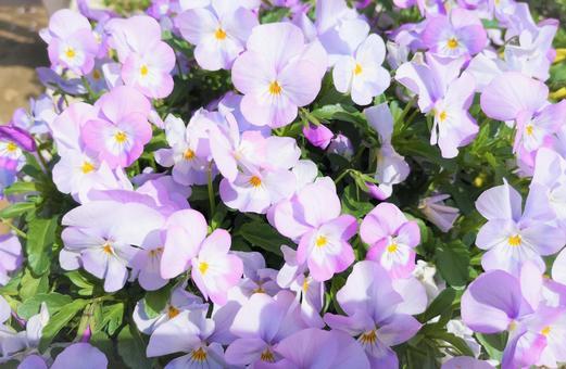 봄의 꽃 # 1
