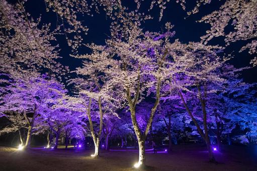 Illuminated cherry blossoms at night