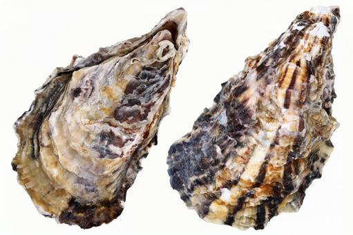 Oyster front and back