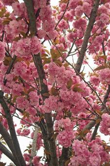 在Koganehara的信奉者樱花