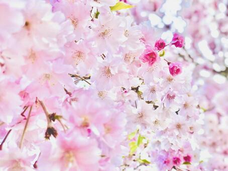 벚꽃 만개 1