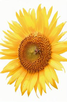 Sunflower (2015) # 98