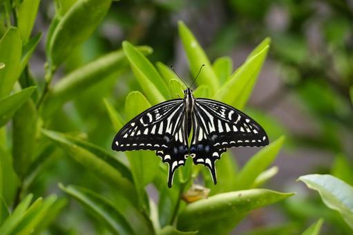 날개를 펴고 휴식 호랑 나비