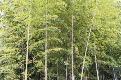 Fresh green bamboo grove