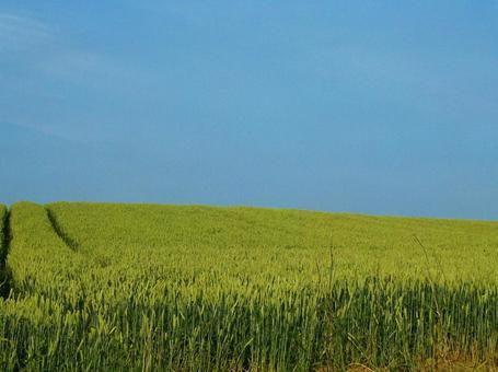 비 에이 언덕의 풍경 밀밭