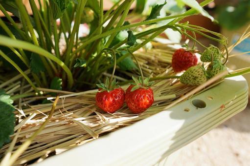 화분 텃밭에서 재배 한 딸기 01