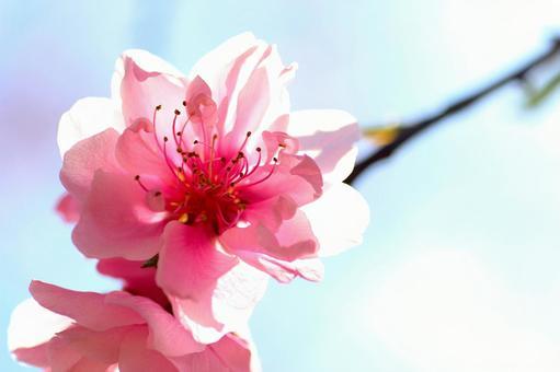 Flower Peach 03