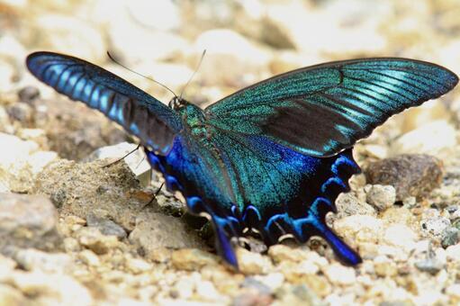 선명한 나비 산 제비 나비