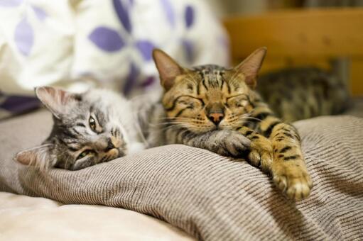 단짝 벵골 고양이와 사바토라 고양이 _자는