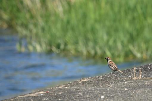 A breath taking a sparrow embankment