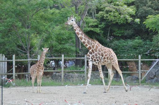 Parent and child of giraffe