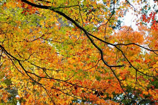 Kyoto colorful autumn leaves background