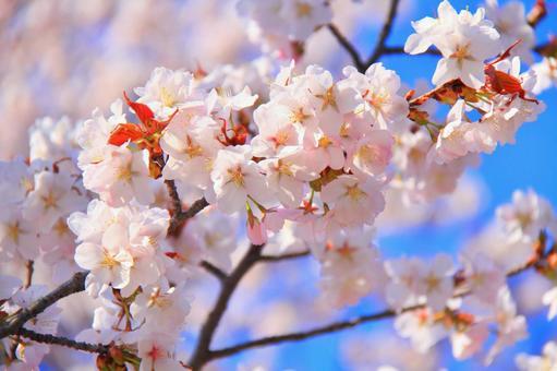 Ezo Yamazakura in full bloom
