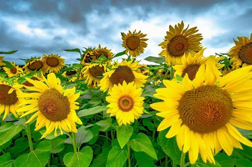 Sunflowers planning something (Part 6) Search word / Sunflower creator name / YUTO @ PHOTOGRAPHER