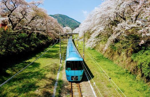 벚꽃의 고 텐바 선을 달리는 특급 열차