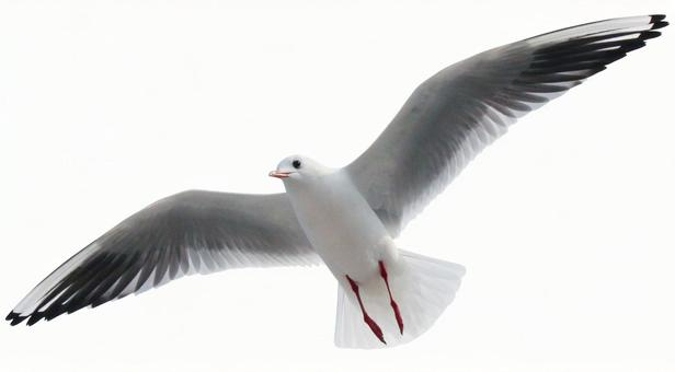 Seagull (PSD with background transmission, clipping path included)