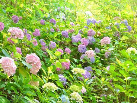 Hydrangea swarms nature hydrangea sunbeams
