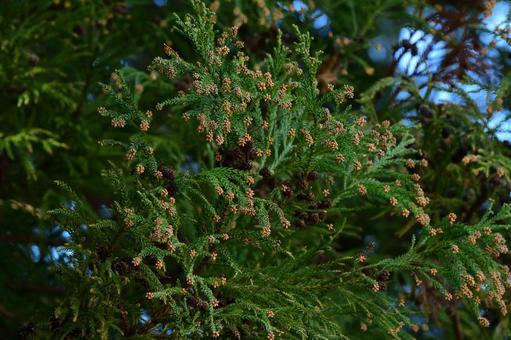 삼나무 수꽃 ~ 삼나무 꽃가루의 계절