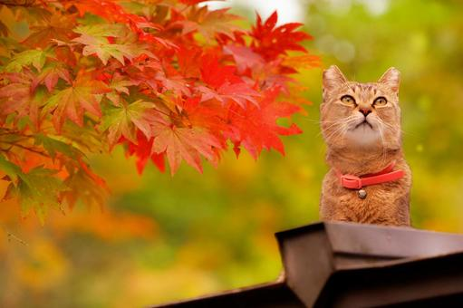 Cat looking at autumnal leaves from the top of the roof