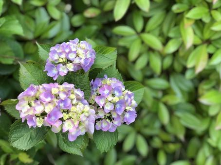 Mixed color hydrangea