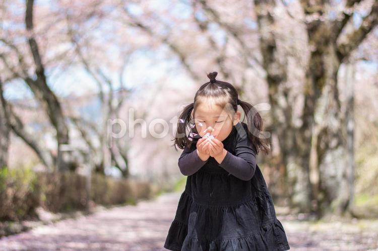桜の花びらをふーっとする子供の写真