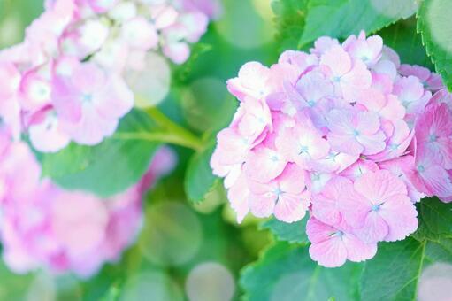 Pink hydrangea rainy season flower