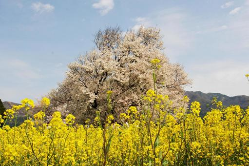 Isshingyo Sakura and Rape blossoms