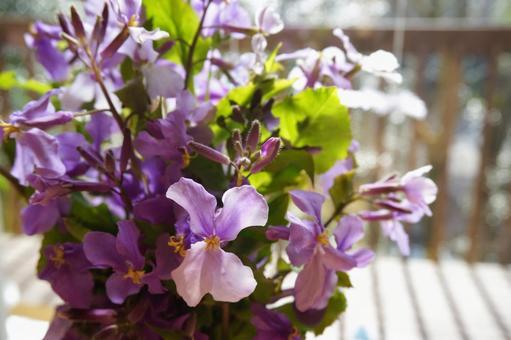 [꽃] 무라사키하나나 무라사키하나나 보라색 꽃 봄 꽃 자연 야생화 야생화 꽃병 하나 다이 콘