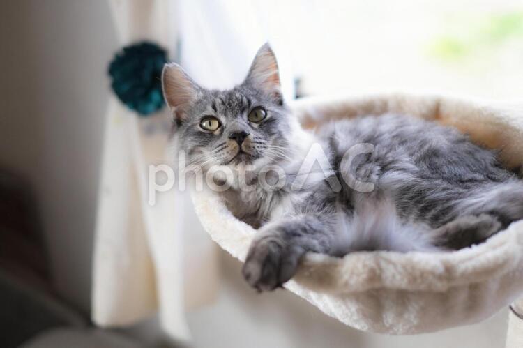 ハンモックでくつろぐ長毛サバトラの子猫の写真