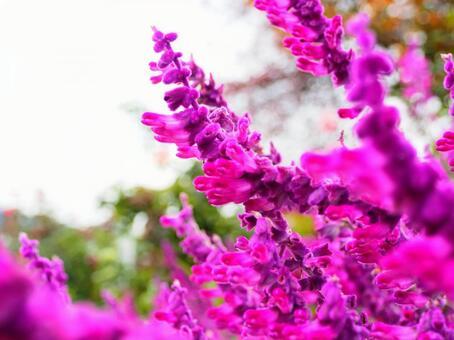 Flower amethyst sage (Salvia leucansa)