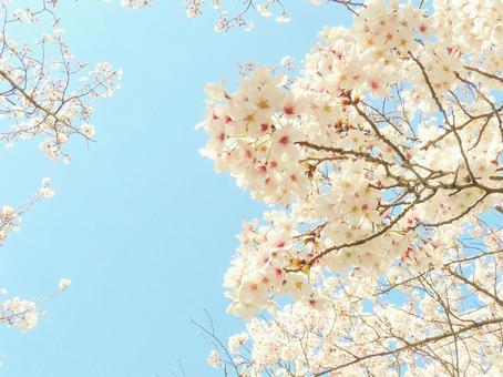 Sakura Sakura Sakura Sakura Sakura no Hana Sakura and the sky Congratulations on the beautiful cherry blossoms