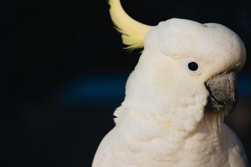 澳大利亞野生鳥基巴坦英文名稱鳳頭鸚鵡背景黑暗男性男性有黑眼睛顏色