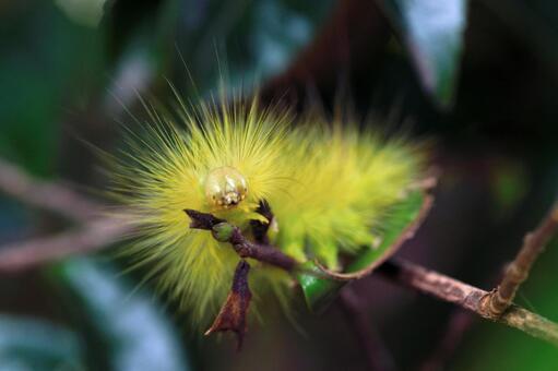 リンゴドクガの幼虫