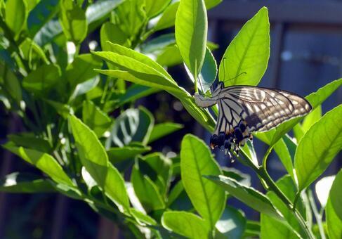 호랑 나비와 감귤류