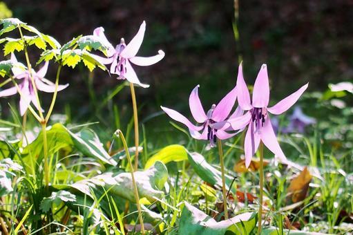 Katakuri flower (spring ephemeral)