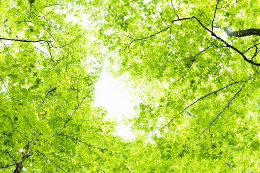 山毛櫸森林