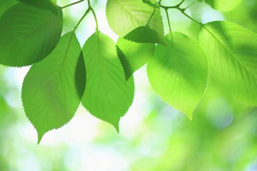 新緑の葉っぱ 若葉 サクラ