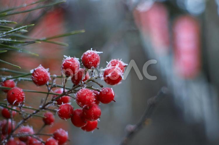 凍ったナンテンの実の写真