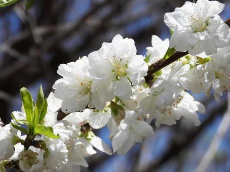 White peach blossom (Hanamomo)