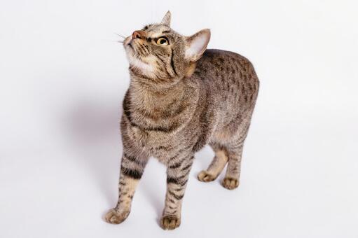 Tiger pattern cat 7