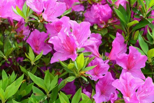 Azalea in full bloom