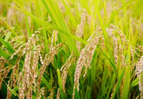 垂下的收穫前蓬鬆的稻穗