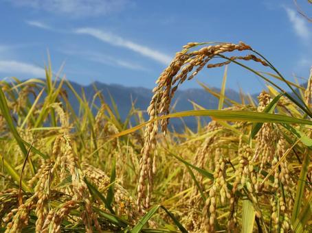 Rice ear of Azumino