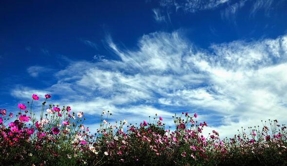 Cosmos and autumn sky