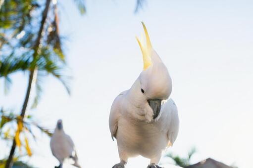 澳大利亞野鳥基巴丹英文名稱Cockatoo背景棕櫚樹夏季2鳥2