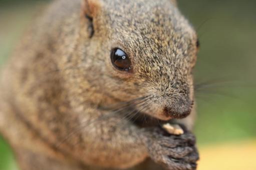 Thai One Squirrel 14