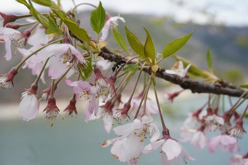 벚꽃과 개미
