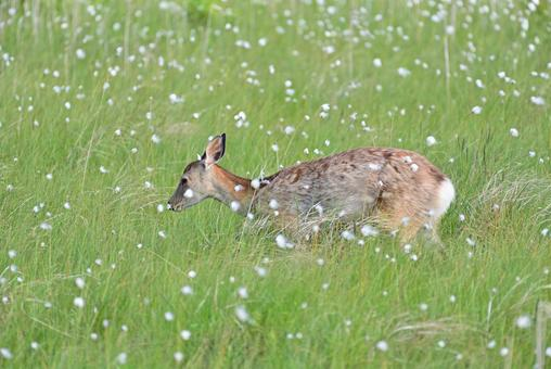 Yezo deer walking in the Kiritappu Wetland where Watasuge blooms
